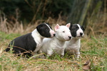 Three lovely Bull Terrier (Miniature) dogs