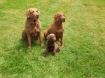 Three lovely Chesapeake Bay Retriever dogs