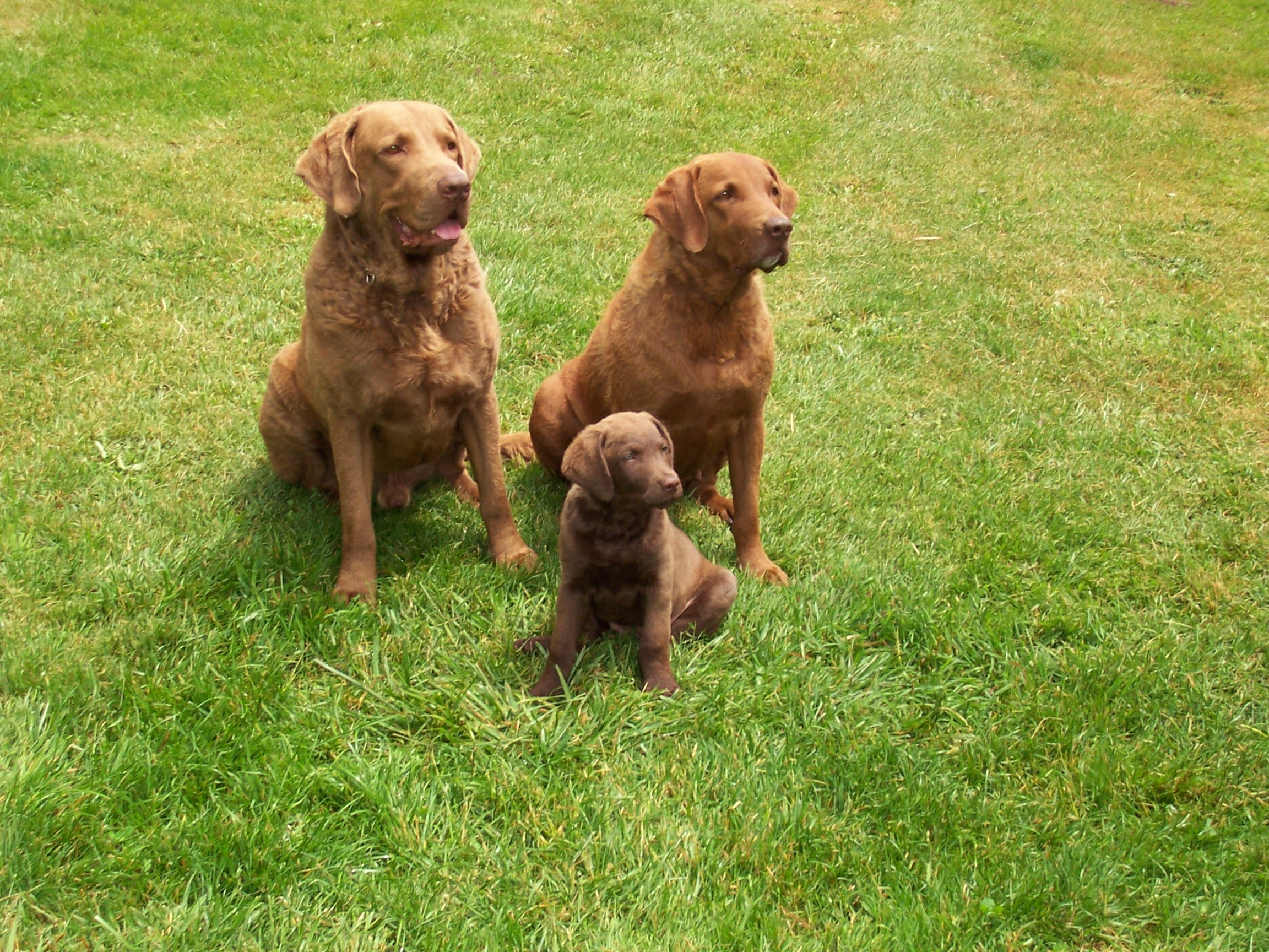 Three lovely Chesapeake Bay Retriever dogs wallpaper