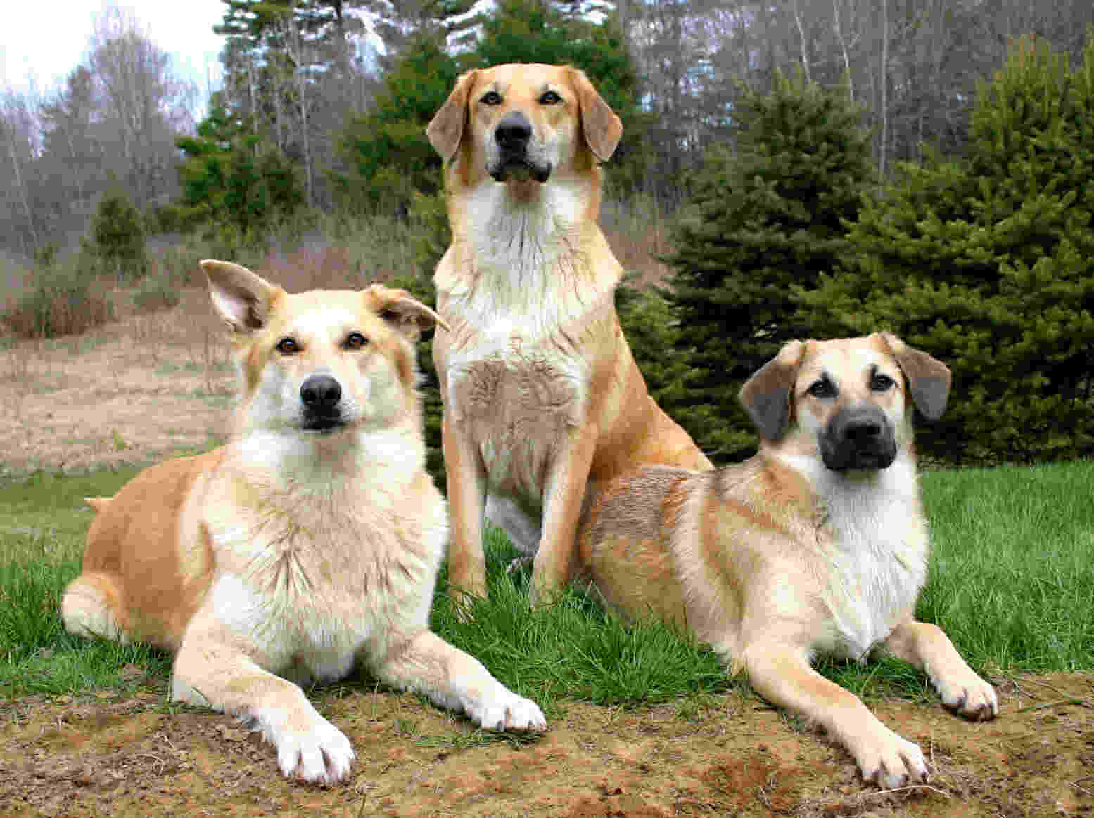 Three lovely chinook dogs wallpaper