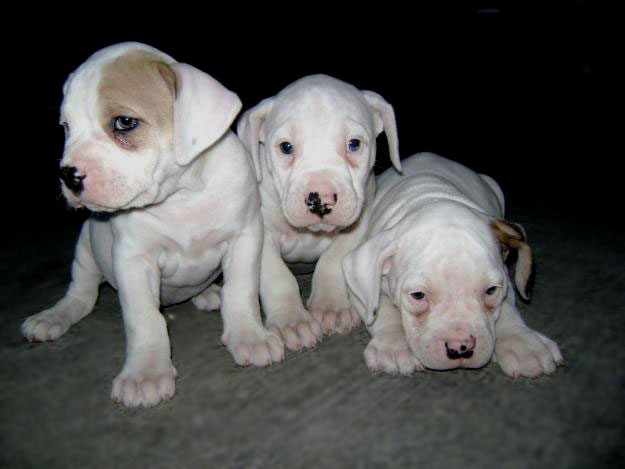 Three lovely Dogo Guatemalteco puppies wallpaper