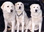 Three Maremma Sheepdog dogs
