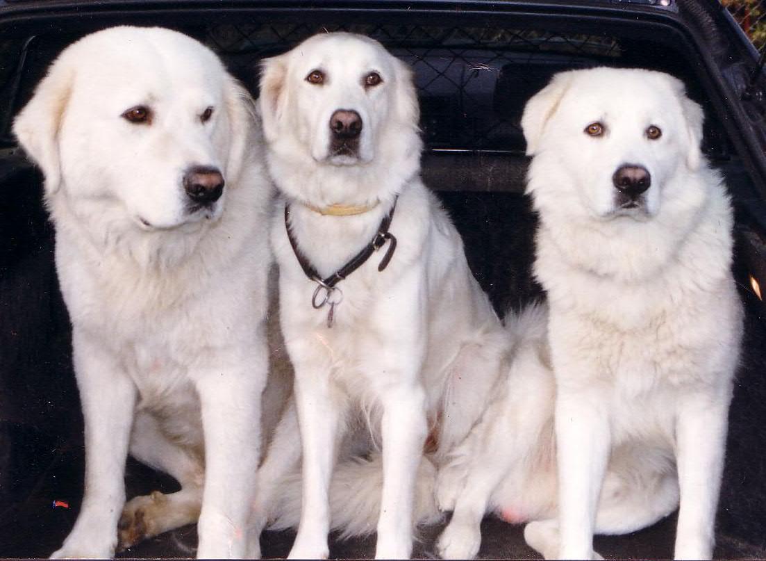 Три мареммо-абруццкие овчарки фото