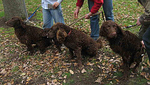 Three Murray River Curly Coated Retriever dogs