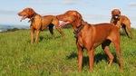 Three old Vizsla dogs