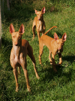 Three Pharaoh Hound dogs