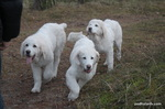 Three Polish Tatra Sheepdogs