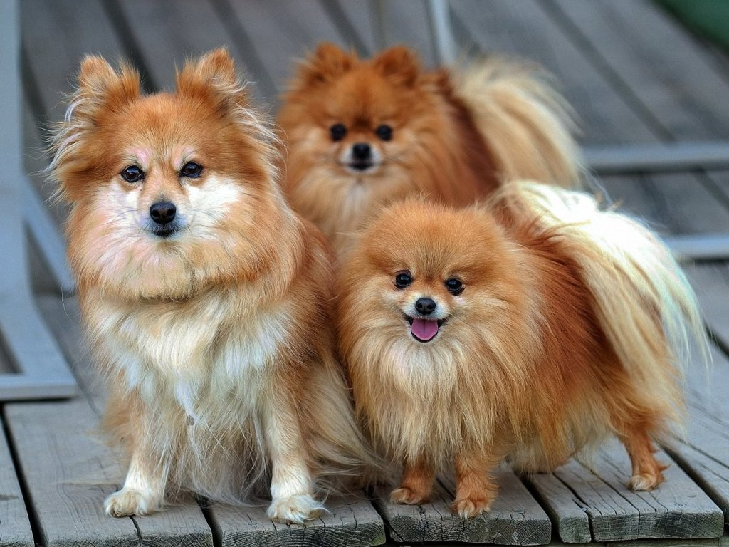 Three Pomeranian dogs wallpaper