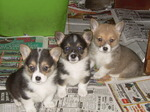 Three Welsh Corgi Cardigan dogs