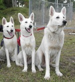Three White Shepherd dogs