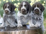 Three Wirehaired Pointing Griffon puppies