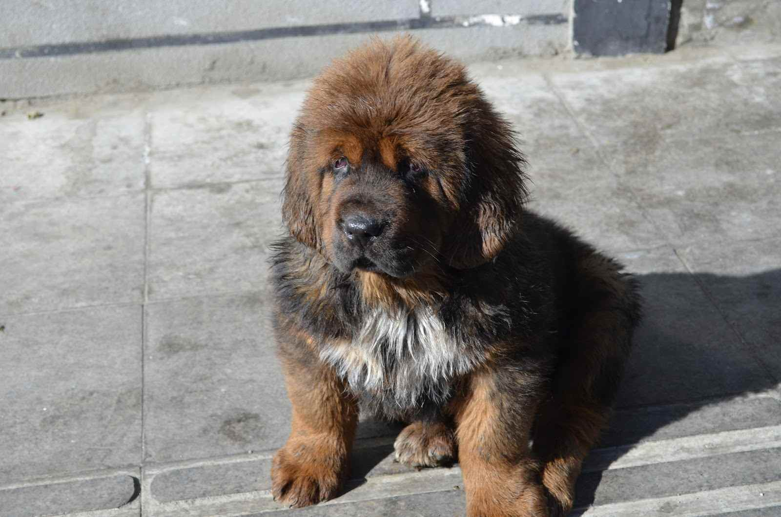 White Tibetan Mastiff Puppies | www.pixshark.com - Images ...