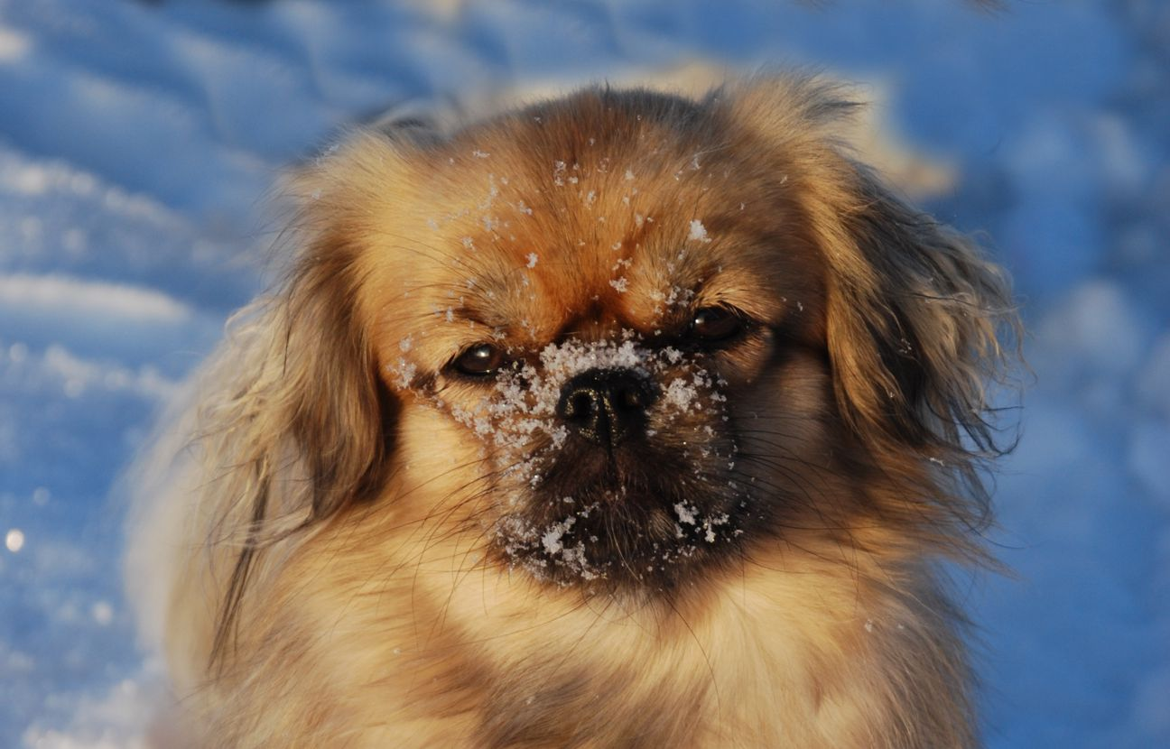 Tibetan Spaniel dog face wallpaper