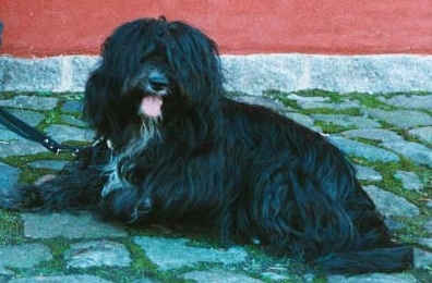 Tibetan Terrier wallpaper