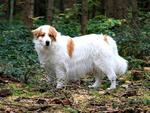 Собака торньяк в лесу