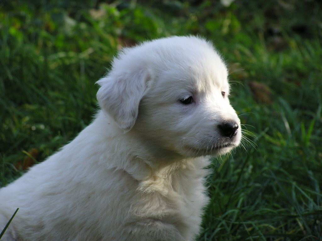 tornjak puppy photo and wallpaper beautiful tornjak puppy