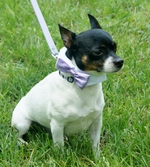 Toy Fox Terrier dog with funny collar