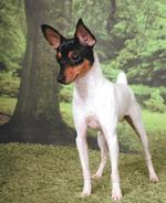 Toy Fox Terrier dog in the forest