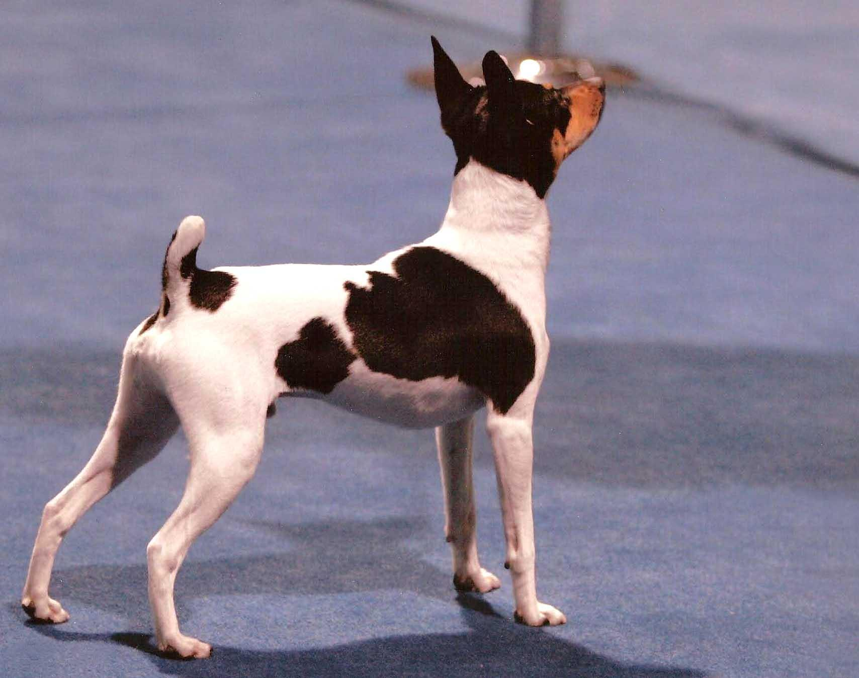 Toy Fox Terrier dog on the dog show wallpaper