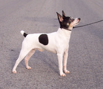 Toy Fox Terrier dog on a walk