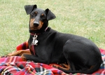 Toy Manchester Terrier dog on the picnic