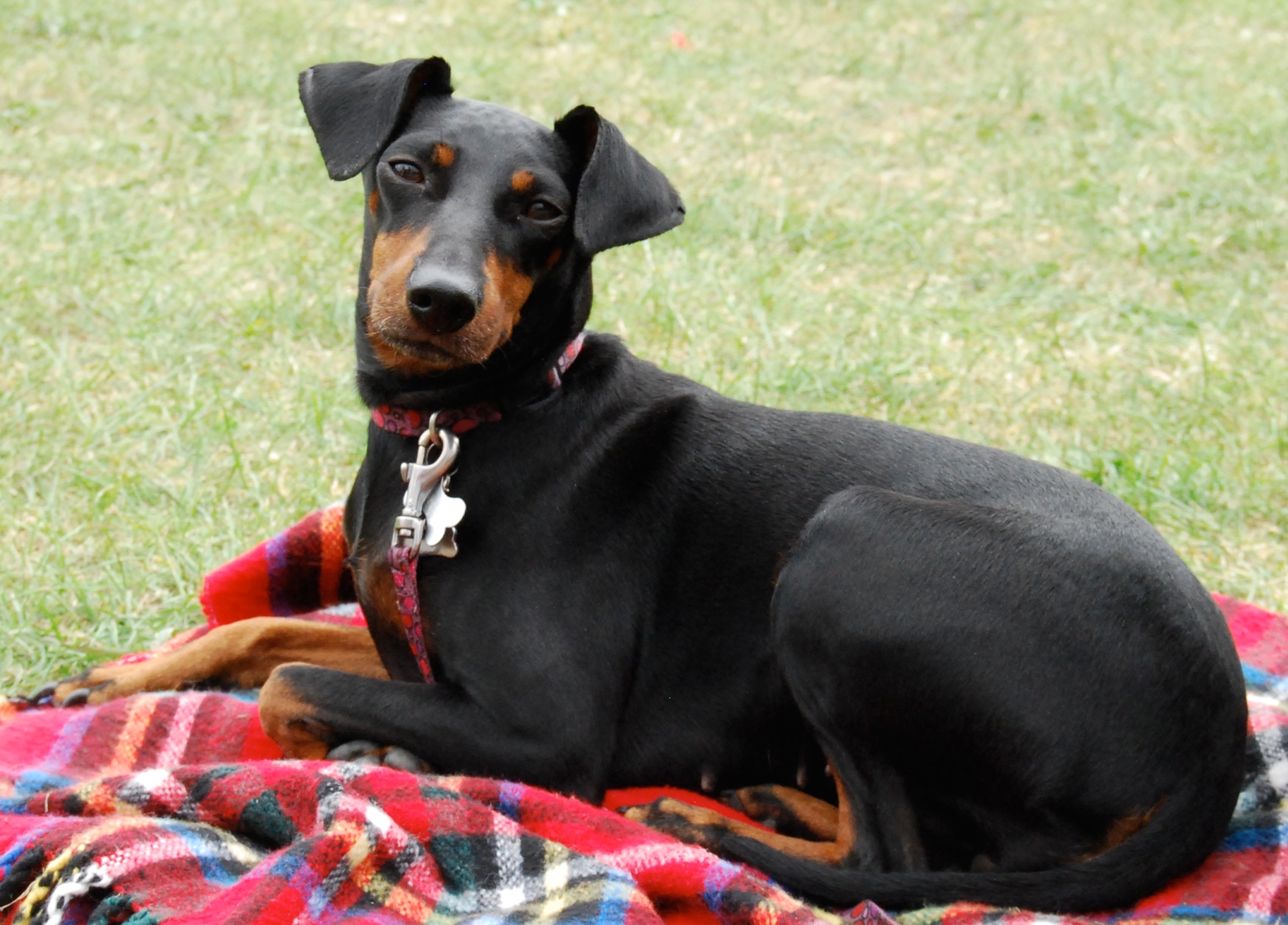 Toy Manchester Terrier dog on the picnic wallpaper