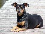 Toy Manchester Terrier dog portret