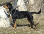 Transylvanian Hound dog