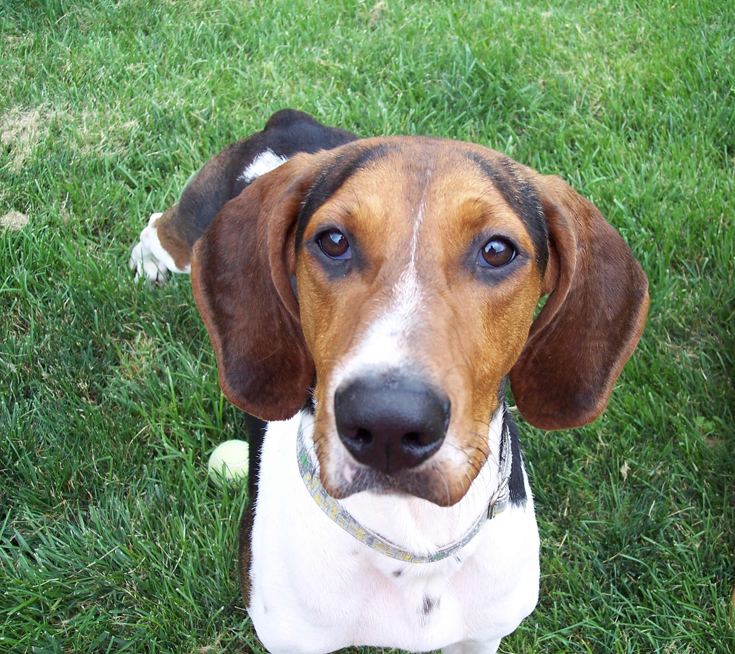 This Treeing Walker Coonhound looking at photographer wallpapers ...