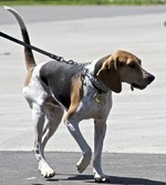 Treeing Walker Coonhound dog on the walk