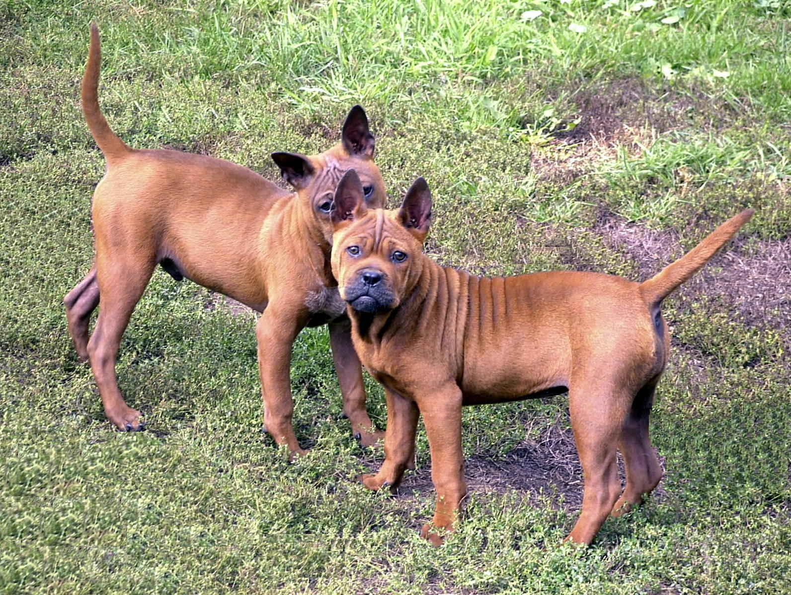 Две китайские собаки чунцин фото