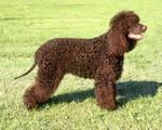 Lovely Tweed Water Spaniel dog on the rack