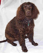 Tweed Water Spaniel dog