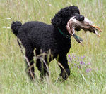 Tweed Water Spaniel hunting