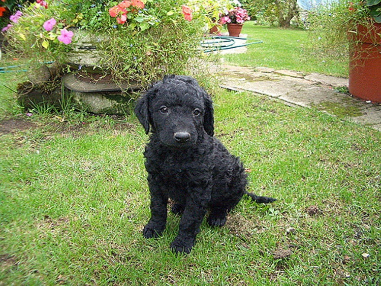 Tweed Water Spaniel puppy wallpaper