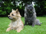 Two Cairn Terrier dogs