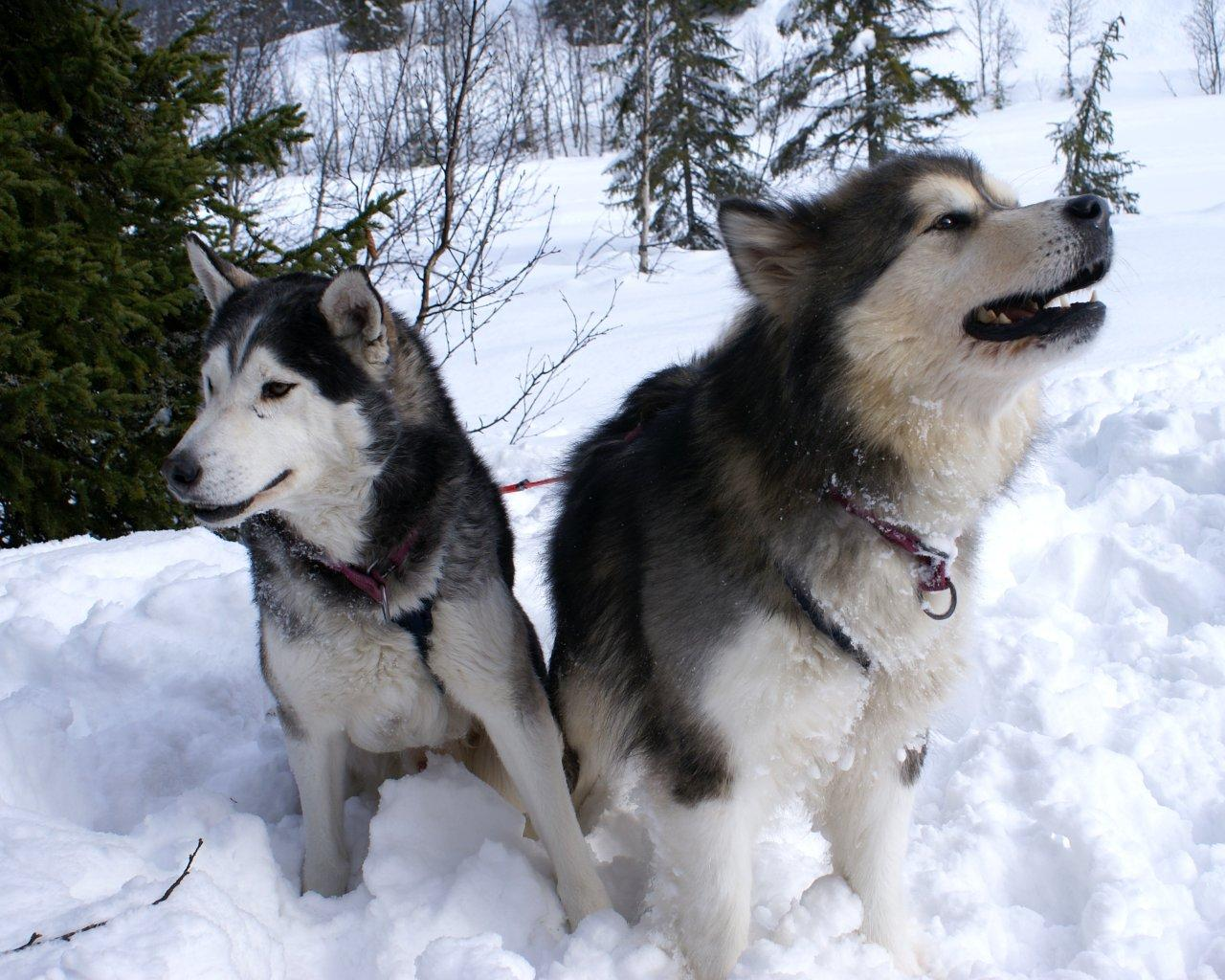 Two adult Alaskan Malamute dogs wallpaper