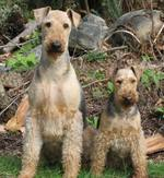 Two Airedale Terrier outdoors