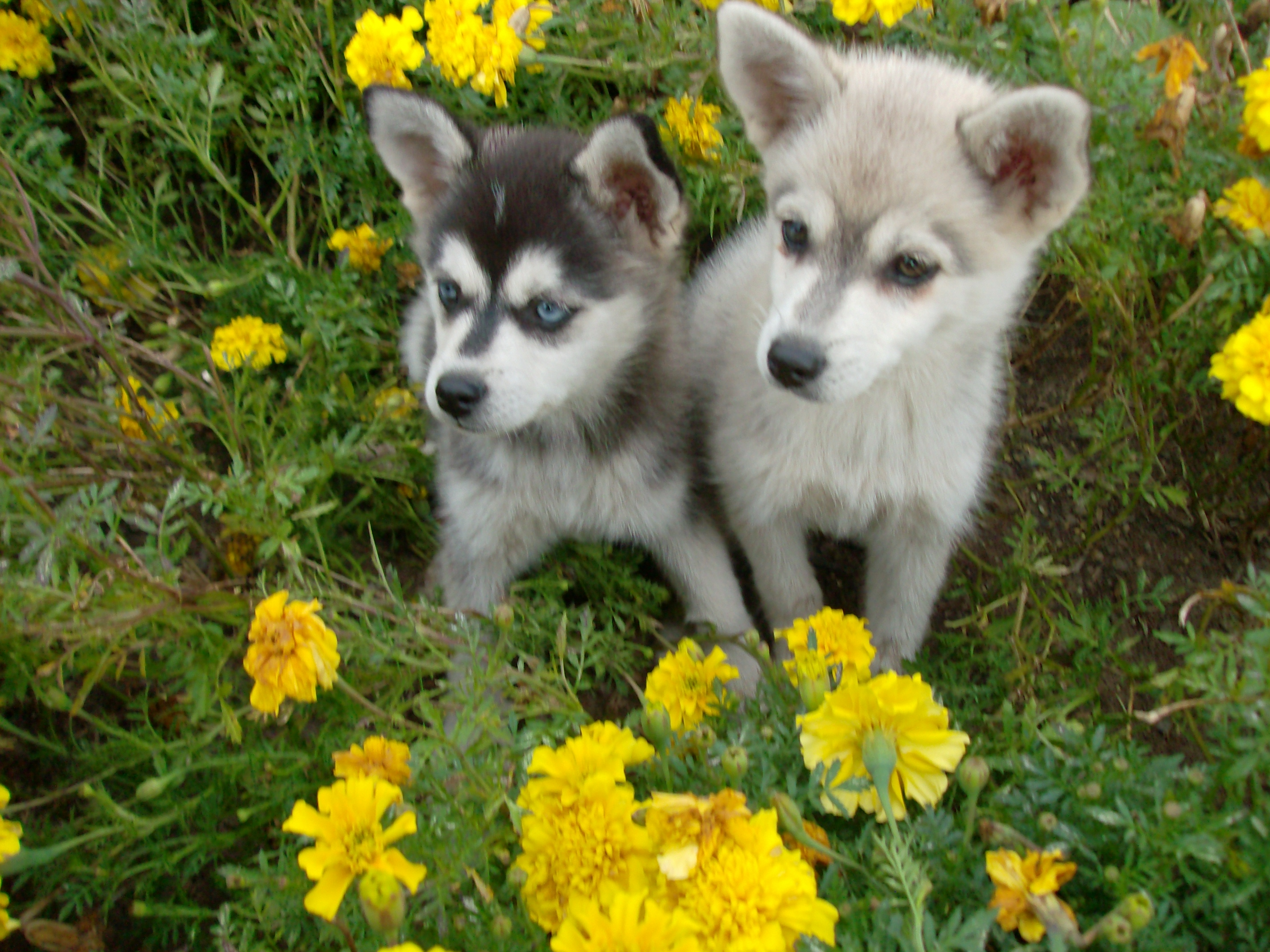 Two Alaskan Klee Kai  dogs in flowers wallpaper