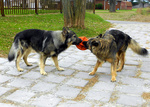Two American Alsatian dogs