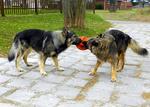 Две американских эльзасских собаки