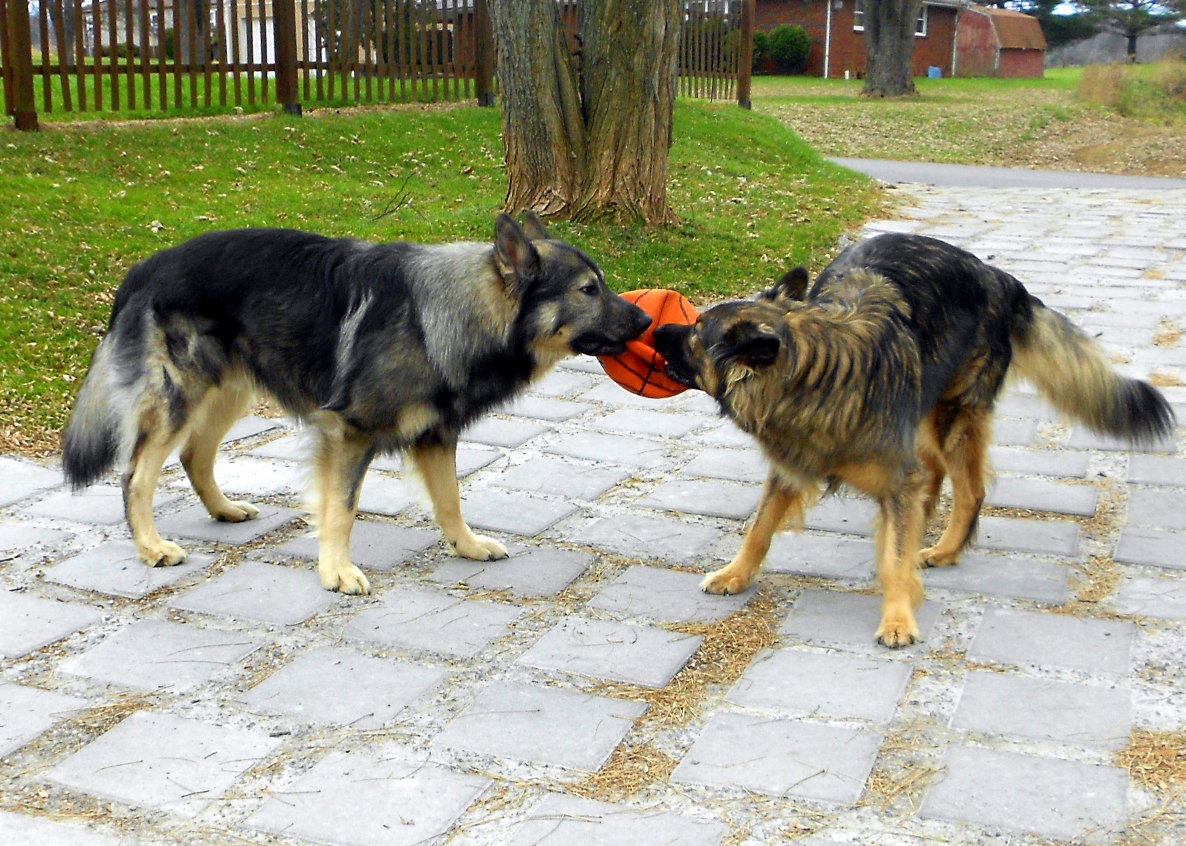 Two American Alsatian dogs wallpaper