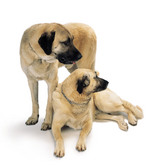 Two Anatolian Shepherd Dogs