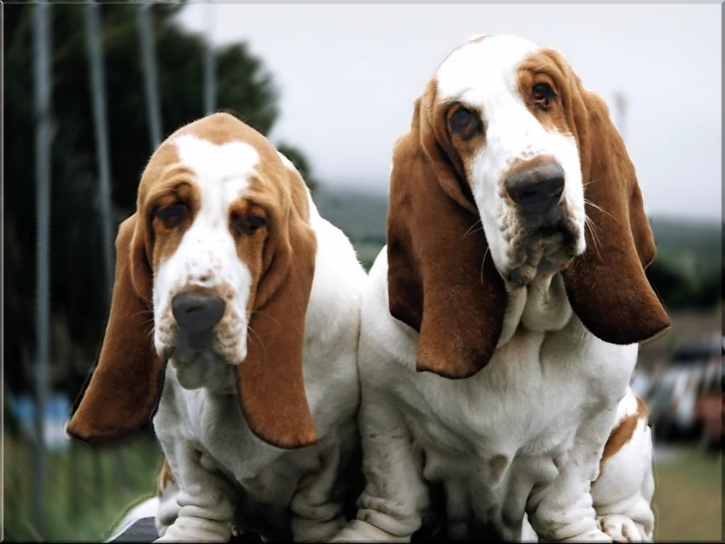 Two Basset Hound dogs photo and wallpaper. Beautiful Two