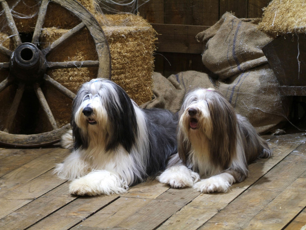 Two Bearded Collie dogs wallpaper