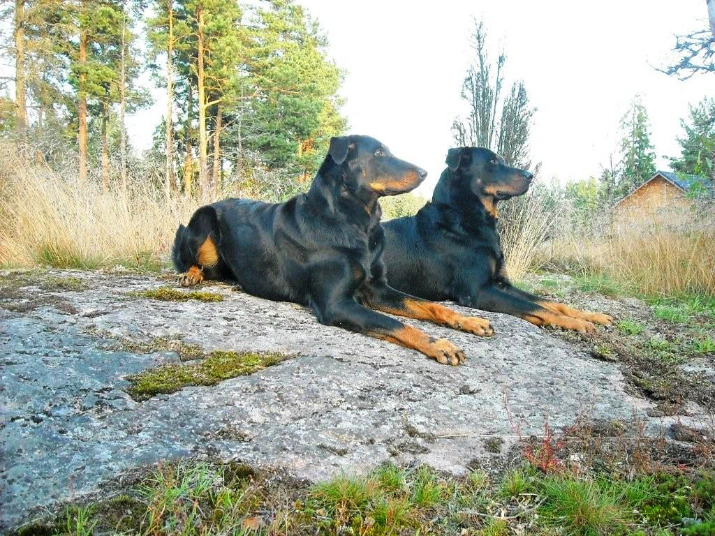 Two Beauceron dogs wallpaper