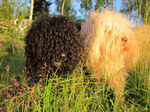 Two beautiful Barbet dogs