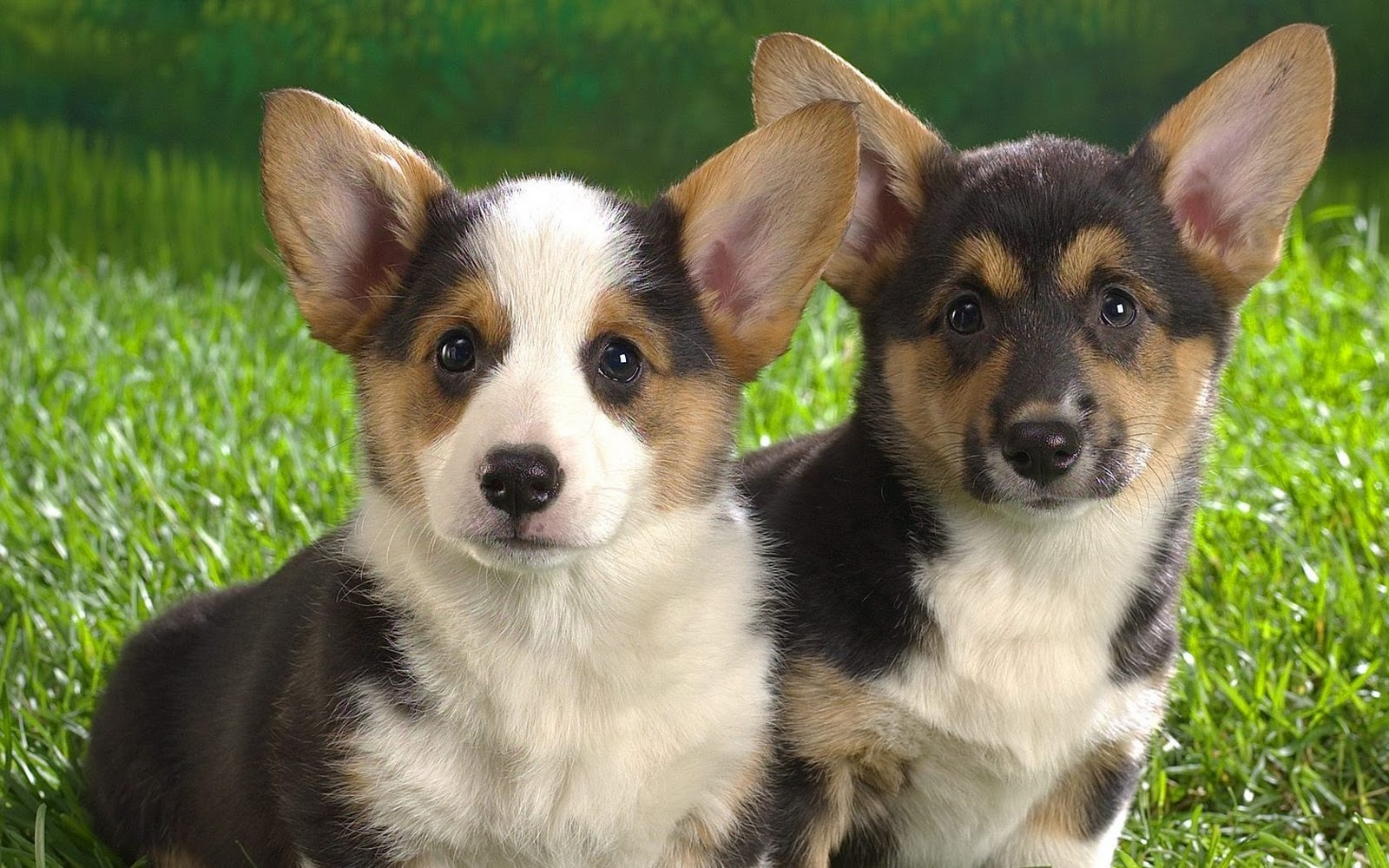 Two beautiful Welsh Corgi Cardigan dogs wallpaper