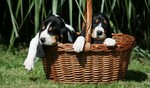 Two Berner Laufhund dogs