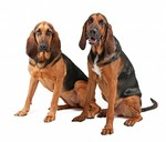 Two Bloodhound dogs
